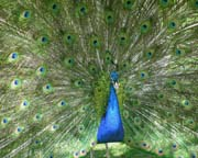 Peacock Feathers - Click to view details