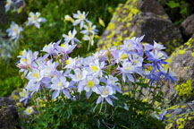 Colorado Columbines - Click to view details