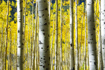 Colorful Aspens - Click to view details