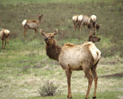 Spring Elk - Click to view details
