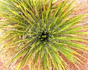 Yucca Plant - Click to view details