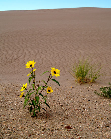 Sand Dunes Sunflower